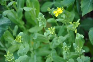 12/03/29 15:29 チンゲンサイの花、満開近し